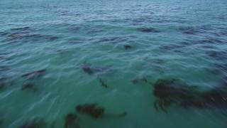 DFKSF15_123 - 5K stock footage aerial video of flying low over ocean kelp forests, Santa Cruz, California