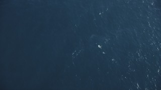 DFKSF16_132 - 5K stock footage aerial video of dolphins swimming in the Pacific Ocean, California