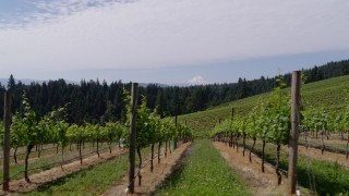 DX0001_000395 - 5.7K stock footage aerial video fly low past rows of grapevines with a view of Mount Hood, Hood River, Oregon