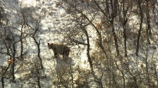 HDA13_385_01 - HD stock footage aerial video of a bear answering an age-old question in the Rocky Mountains, Colorado