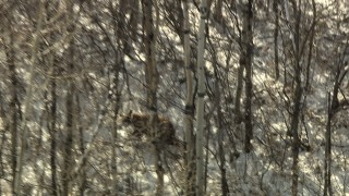 HDA13_385_02 - HD stock footage aerial video track a bear running through the woods and snow in the Rocky Mountains, Colorado
