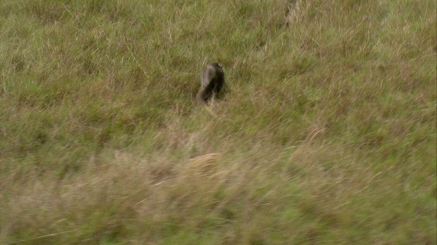 An anteater running through the savanna grass to palm trees in Southern Venezuela Aerial Stock Footage | AF0001_000536