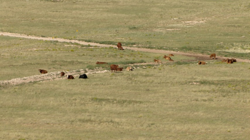 Cattle on an open plain near El Paso, Texas Aerial Stock Footage | AF0001_000969