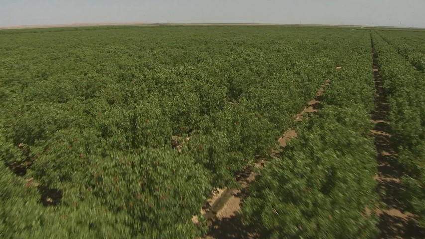 1080 stock footage aerial video flying low over orchard trees, Central Valley, California Aerial Stock Footage | AI06_FRM_073