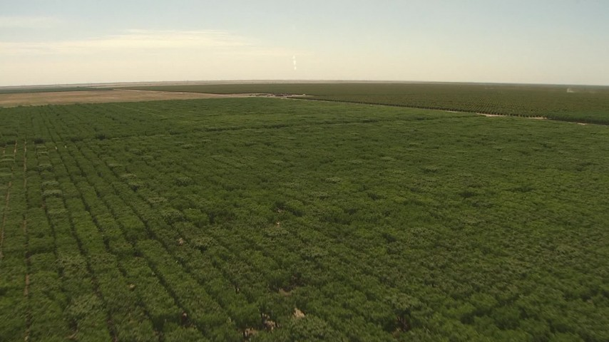 1080 stock footage aerial video flying over fields of trees, Central Valley, California Aerial Stock Footage | AI06_FRM_084