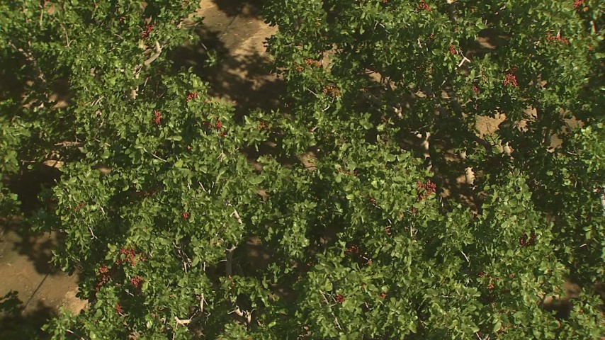 1080 stock footage aerial video orbiting trees with crops, Central Valley, California Aerial Stock Footage | AI06_FRM_088