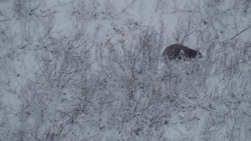 4K stock footage aerial video tracking a bear sitting in snow, running up a hill, Alaskan Wilderness Aerial Stock Footage | AK0001_0960