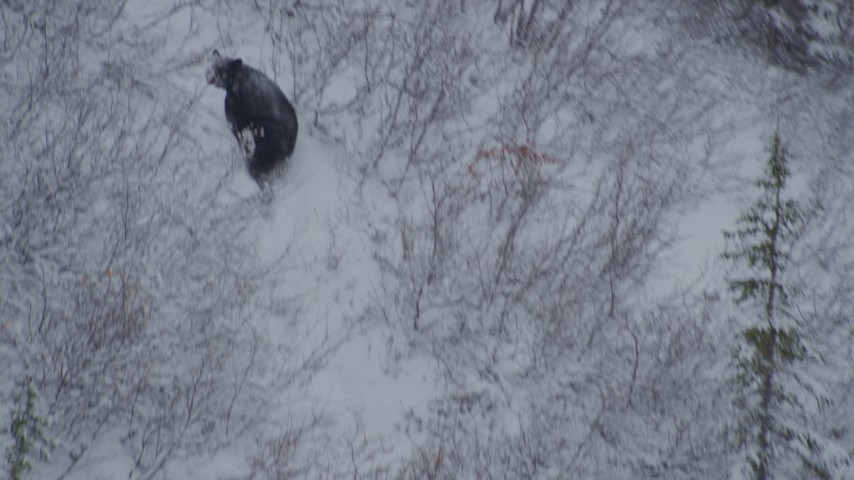4K stock footage aerial video tracking bear running up snowy hill, during winter, Alaskan Wilderness Aerial Stock Footage | AK0001_0961