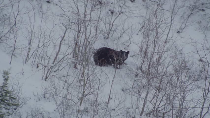 4K aerial video tracking bear crouched in snow, during winter, Alaskan Wilderness Aerial Stock Footage | AK0001_0962