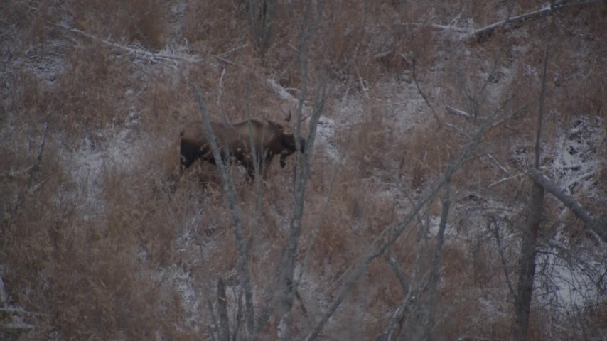 4K stock footage aerial video a moose standing in the snow covered brush in the Alaskan Wilderness Aerial Stock Footage | AK0001_1283