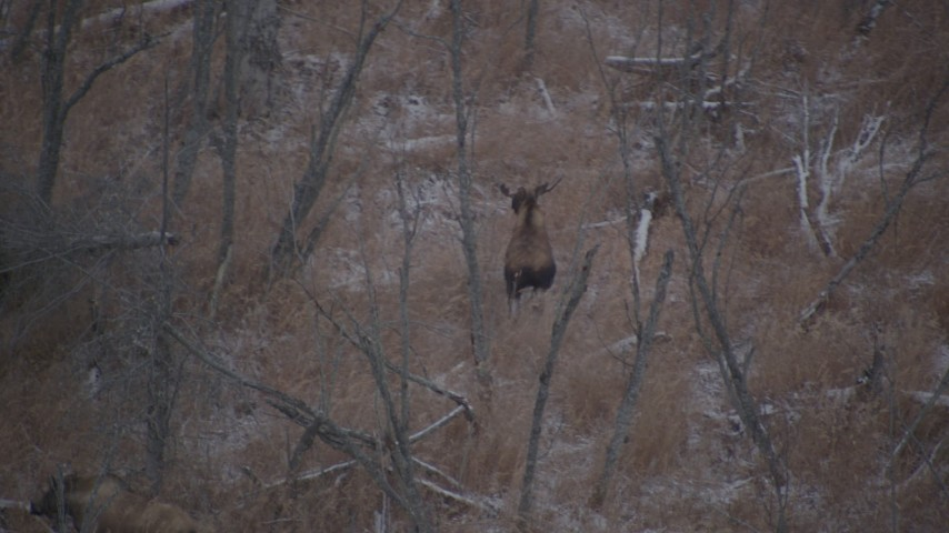 4K stock footage aerial video two moose running through snow covered brush in the Alaskan Wilderness Aerial Stock Footage | AK0001_1285