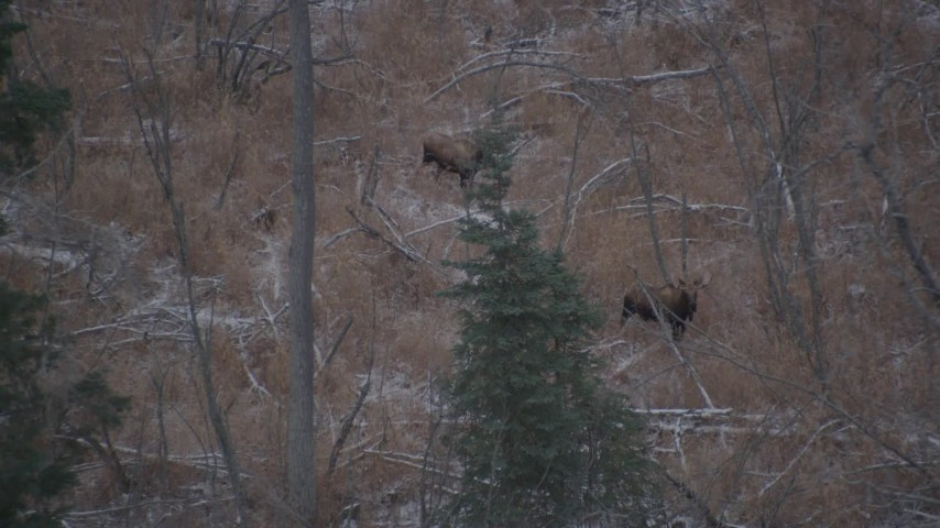 4K aerial video two moose in the snow covered brush in the Alaskan Wilderness Aerial Stock Footage | AK0001_1286