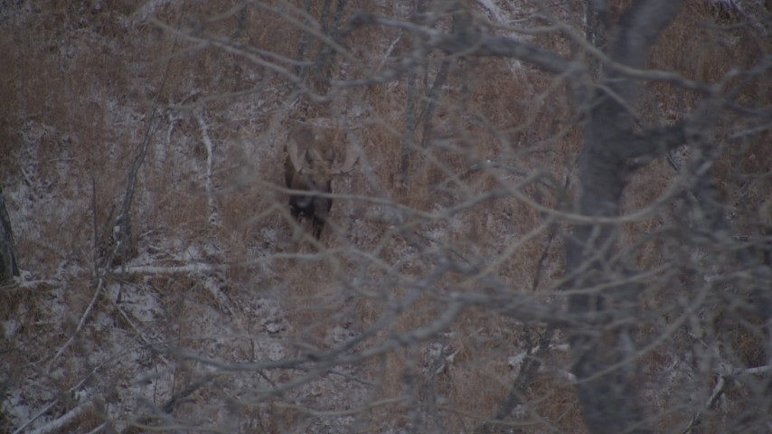 4K stock footage aerial video two moose standing in the snow covered brush in the Alaskan Wilderness Aerial Stock Footage   AK0001_1288