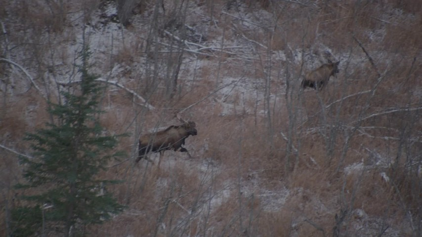 4K stock footage aerial video two moose trotting through the brush in the Alaskan Wilderness Aerial Stock Footage | AK0001_1291