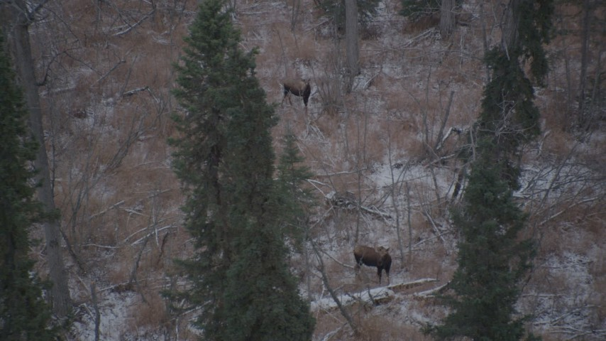 4K stock footage aerial video two moose standing in snow covered brush in the Alaskan Wilderness Aerial Stock Footage | AK0001_1292