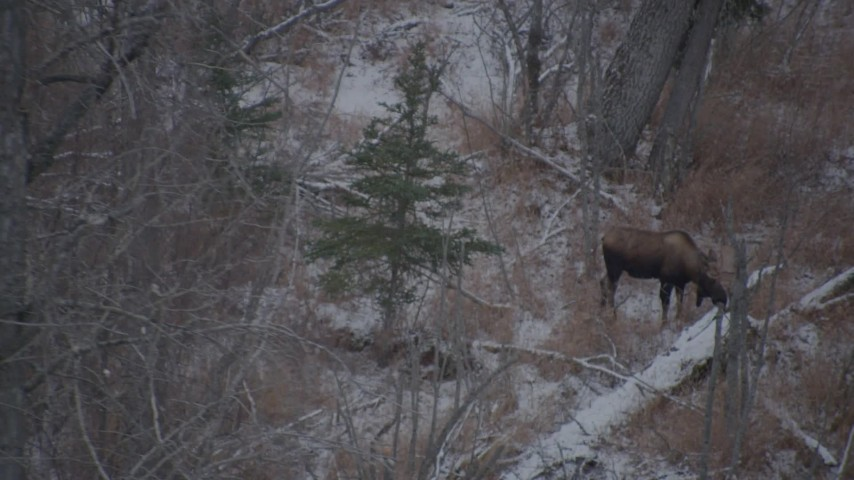 4K stock footage aerial video a moose eating snow off a log in the Alaskan Wilderness Aerial Stock Footage   AK0001_1294