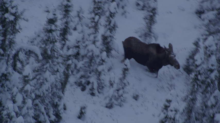 4K stock footage aerial video moose standing in snow, trotting in the woods at twilight, Point MacKenzie, Alaska Aerial Stock Footage | AK0001_1665