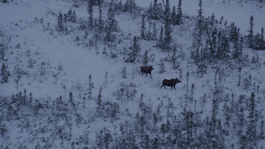 4K stock footage aerial video two moose running through the snow at twilight, Point MacKenzie, Alaska Aerial Stock Footage | AK0001_1668
