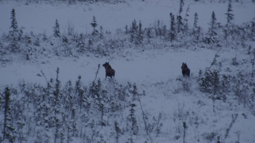 4K stock footage aerial video two moose charging through snow at sunset, Point MacKenzie, Alaska Aerial Stock Footage | AK0001_1669