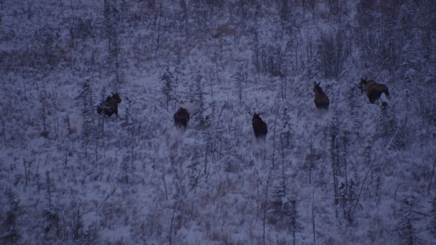 4K stock footage aerial video seven moose charging through snowy grass, Point MacKenzie, Alaska, twilight Aerial Stock Footage | AK0001_1703