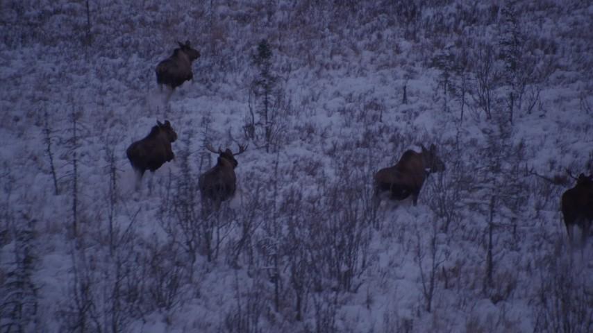 4K stock footage aerial video five moose trotting through frozen grass, Point MacKenzie, Alaska, twilight Aerial Stock Footage | AK0001_1704