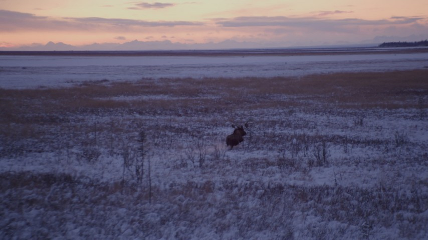 4K stock footage aerial video moose charging through snow covered grass at twilight, Point MacKenzie, Alaska Aerial Stock Footage | AK0001_1705