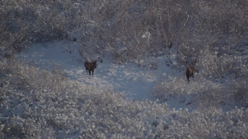 4K stock footage aerial video flyby two moose standing on a snowy path, Chugach Mountains, Alaska Aerial Stock Footage | AK0001_1768
