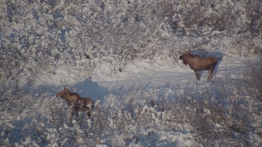 4K stock footage aerial video two moose in the snowy brush, Chugach Mountains, Alaska Aerial Stock Footage | AK0001_1769