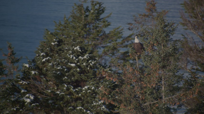 4K stock footage aerial video an eagle perched on a snowy tree, then flies away, Port Wells, Alaska Aerial Stock Footage | AK0001_1862