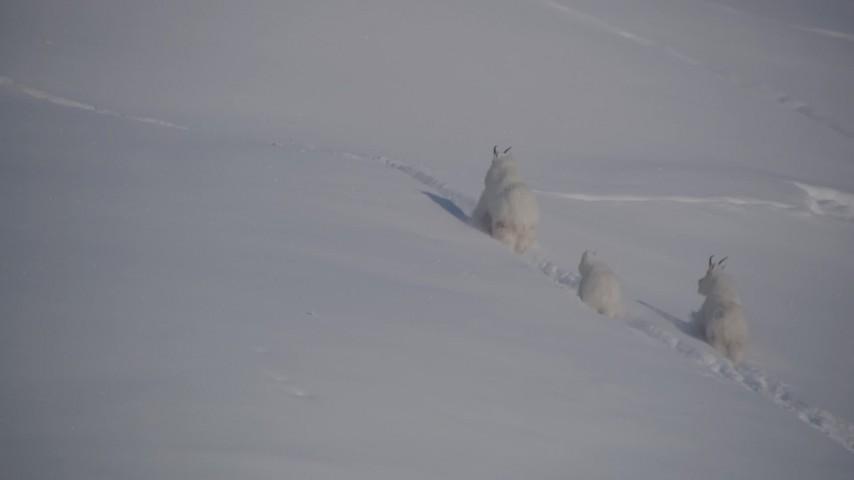 4K stock footage aerial video three mountain goats charging through the snow in Chugach Mountains, Alaska Aerial Stock Footage | AK0001_1941