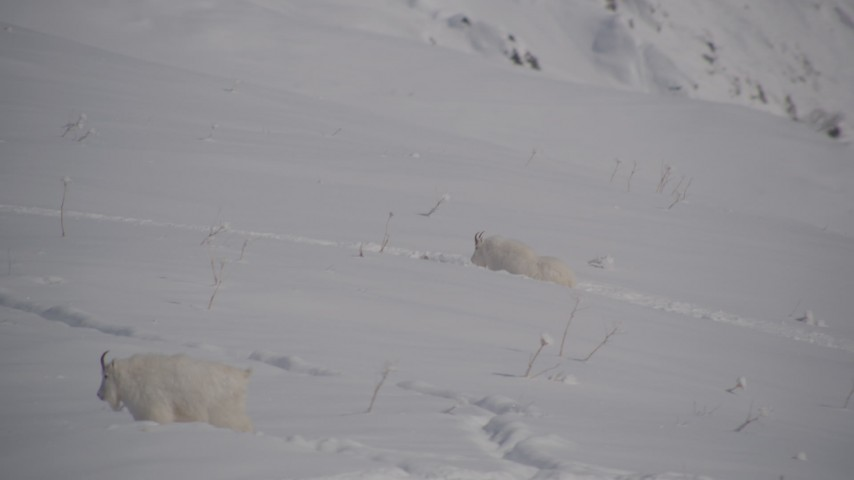 4K stock footage aerial video mountain goats trekking through the snow, Chugach Mountains, Alaska Aerial Stock Footage | AK0001_1947