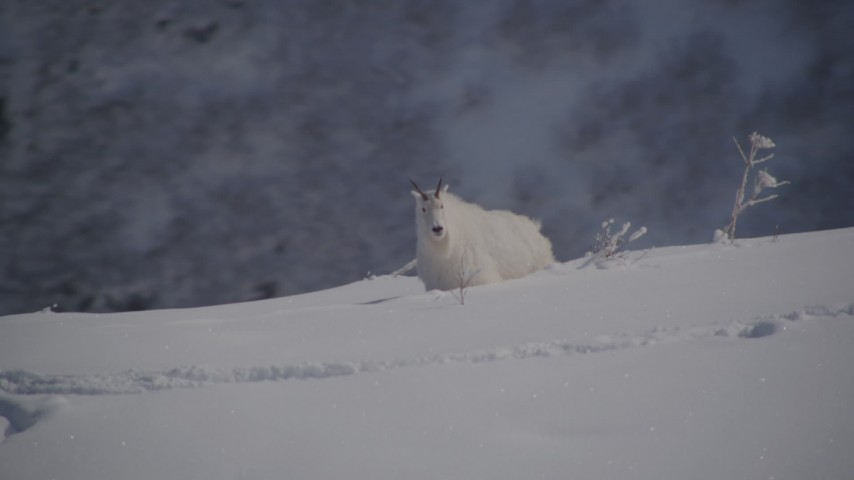 4K stock footage aerial video a mountain goat stepping in the snow, Chugach Mountains, Alaska Aerial Stock Footage | AK0001_1949