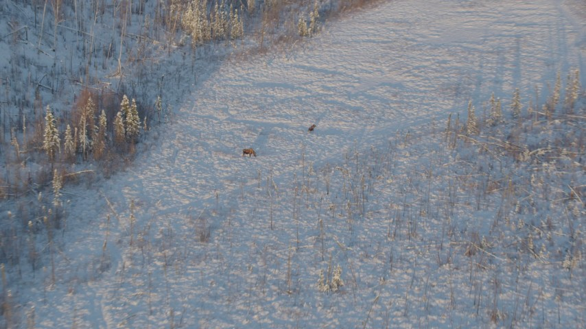 4K stock footage aerial video approaching two moose standing in snow at sunset, Knik-Fairview, Alaska Aerial Stock Footage | AK0001_2062