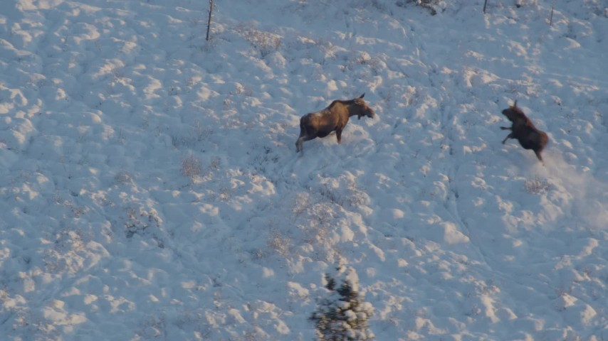 4K stock footage aerial video moose joined by second, running in snow, Knik-Fairview, Alaska, sunset Aerial Stock Footage AK0001_2063 | Axiom Images