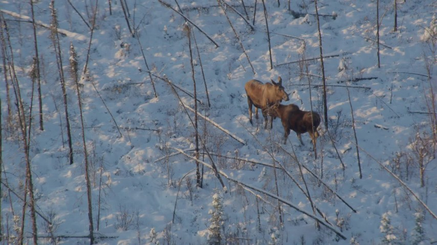 4K stock footage aerial video two moose standing in snow, revealing woods at sunset, Knik-Fairview, Alaska Aerial Stock Footage | AK0001_2065