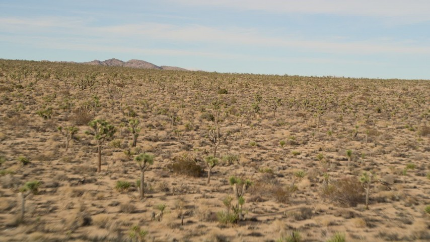 5K stock footage aerial video fly low over Joshua Trees, Joshua Tree National Park, California Aerial Stock Footage | AX0011_033