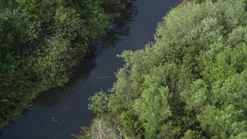 5K stock footage aerial video of flying by an alligator in a river, Florida Everglades, Florida Aerial Stock Footage | AX0030_023