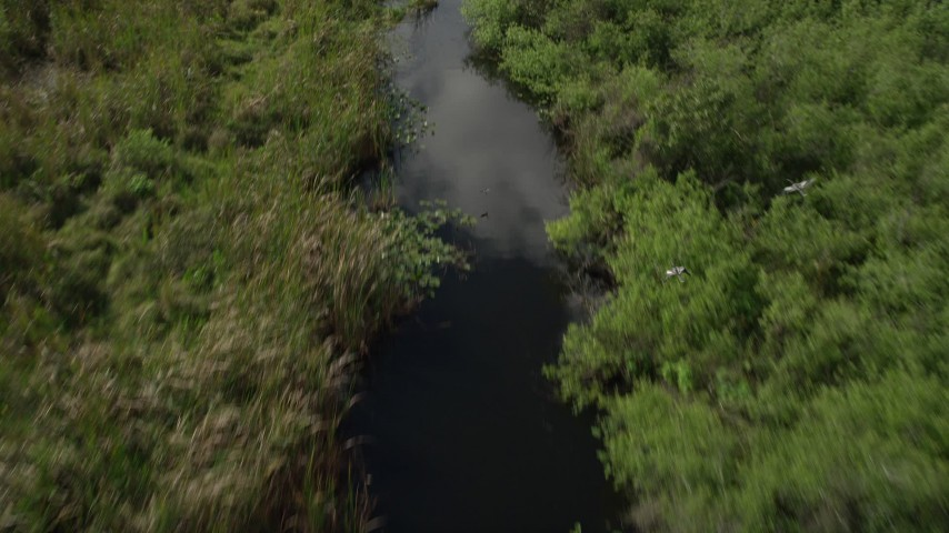 5K stock footage aerial video of approaching birds flying over river, Florida Everglades, Florida Aerial Stock Footage | AX0030_113