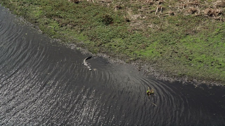 5K stock footage aerial video of an alligator in the river, Cocoa, Florida Aerial Stock Footage | AX0034_040