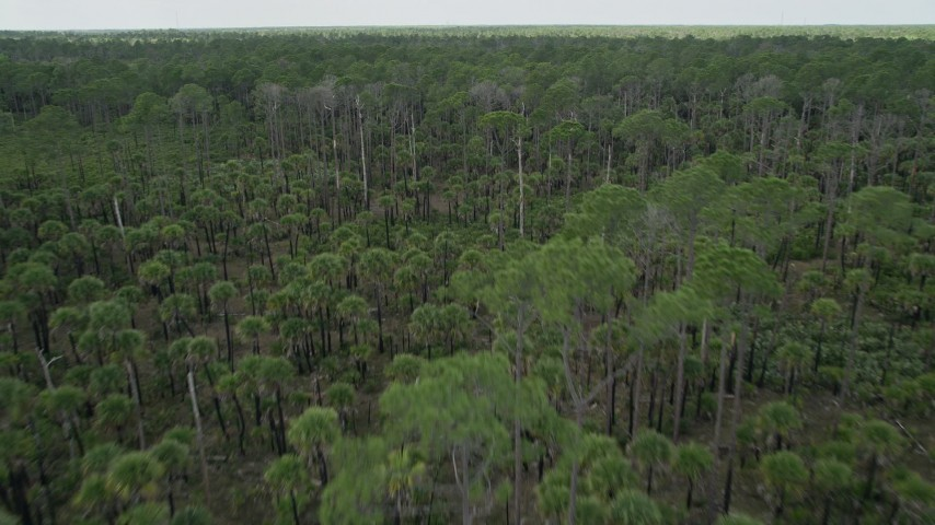 5K aerial stock footage video fly low over forest with palm trees, Cocoa, Florida Aerial Stock Footage | AX0034_053