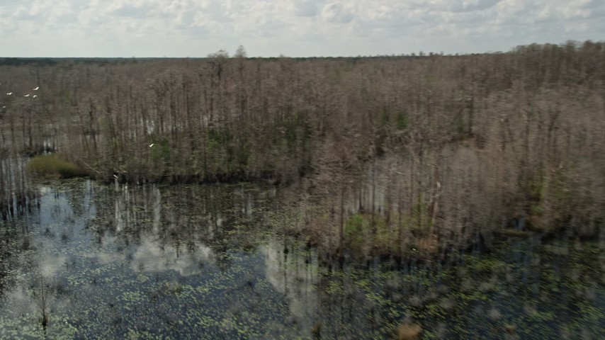 5K stock footage aerial video of flying over swamp revealing a flock of birds, Orlando, Florida Aerial Stock Footage | AX0035_046