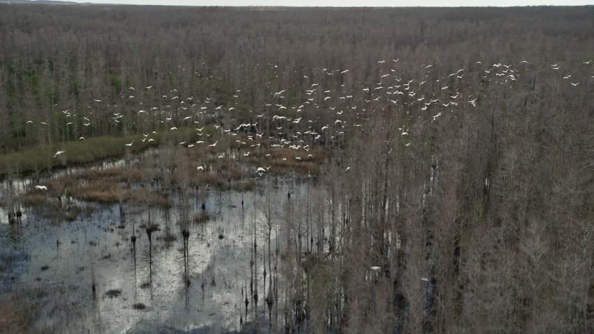 5K stock footage aerial video of tracking a flock of birds flying over a swamp, Orlando, Florida Aerial Stock Footage | AX0035_054