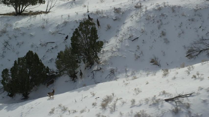 6K stock footage aerial video of tracking several mule deer on Antelope Island in winter, Utah Aerial Stock Footage | AX125_044