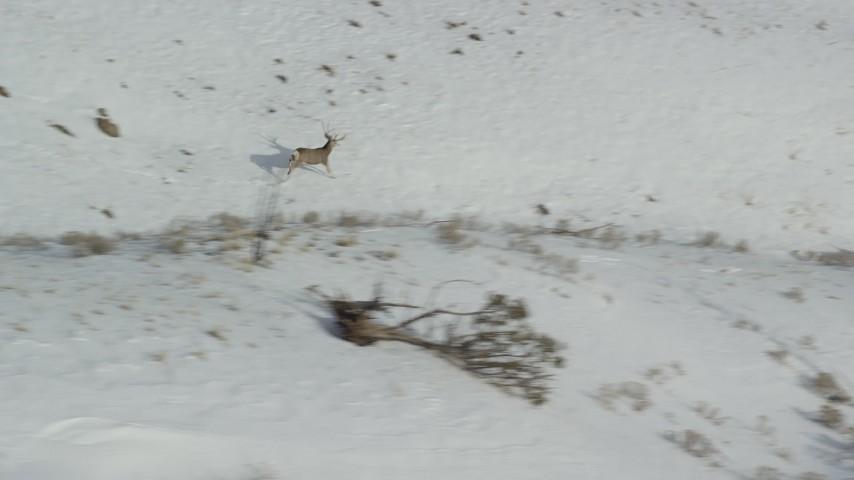 6K stock footage aerial video of tracking mule deer racing across snow on Antelope Island, Utah Aerial Stock Footage | AX125_046