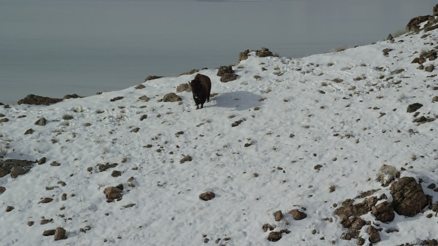 6K stock footage aerial video approach lone bison on a snowy slope in winter on Antelope Island, Utah Aerial Stock Footage | AX125_053