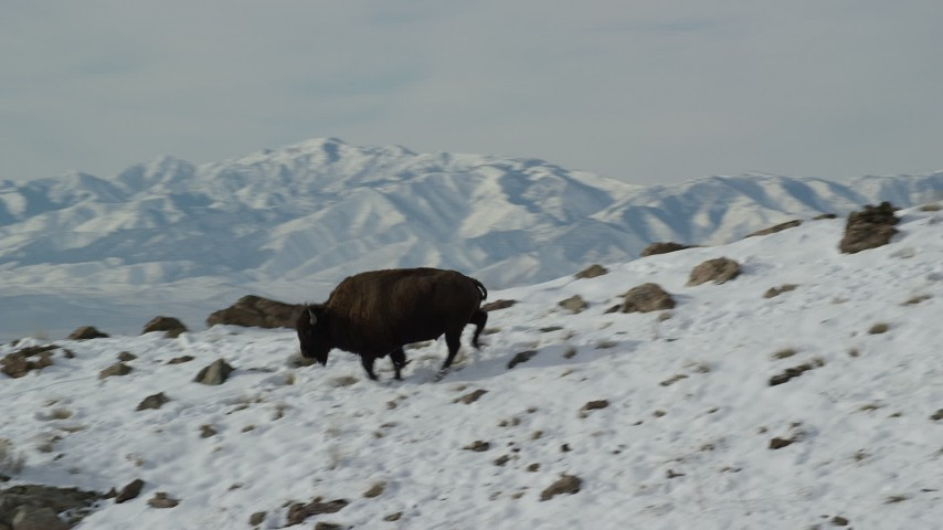 6K stock footage aerial video of tracking a bison running across a snowy mountain slope in winter, Antelope Island, Utah Aerial Stock Footage | AX125_054