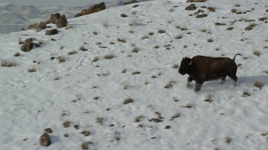 6K stock footage aerial video track a bison running across a snowy mountain and stopping in winter, Antelope Island, Utah Aerial Stock Footage | AX125_055