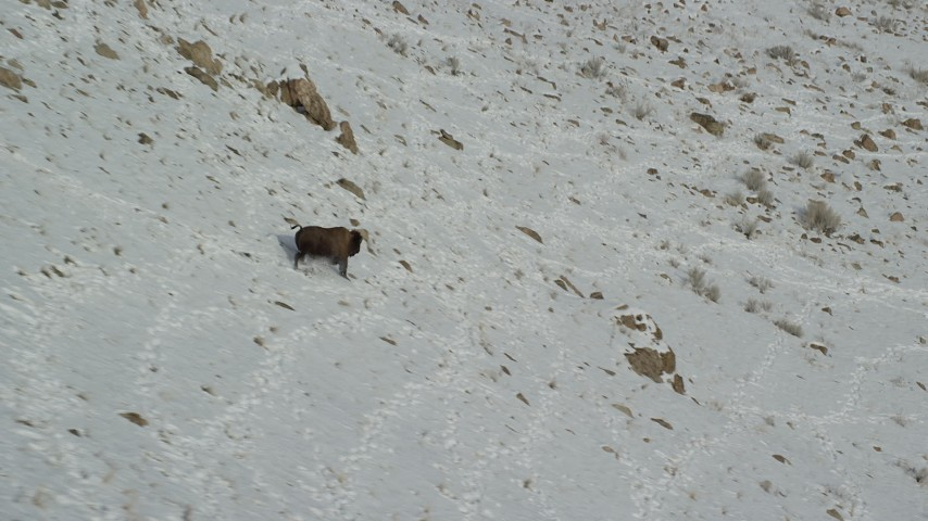 Track a Bison Running Down a Snowy Slope in Winter Aerial Stock Footage | AX125_056