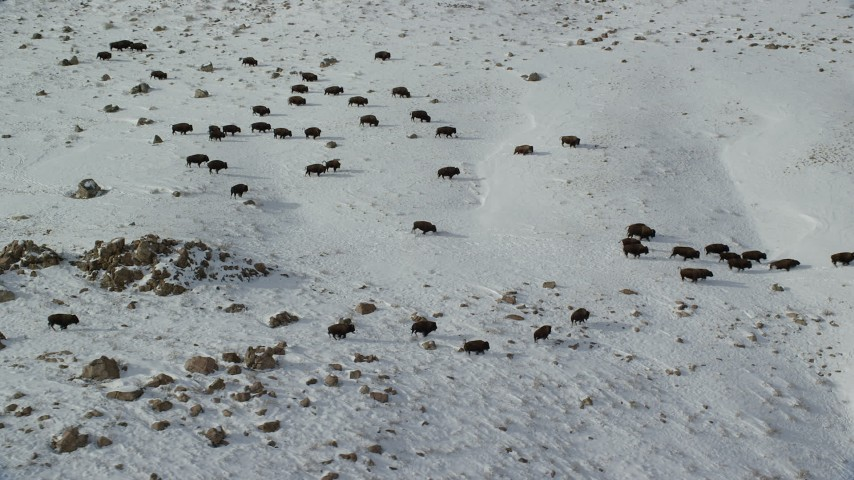 6K stock footage aerial video of tracking a herd of bison on snowy Antelope Island, Utah Aerial Stock Footage | AX125_058