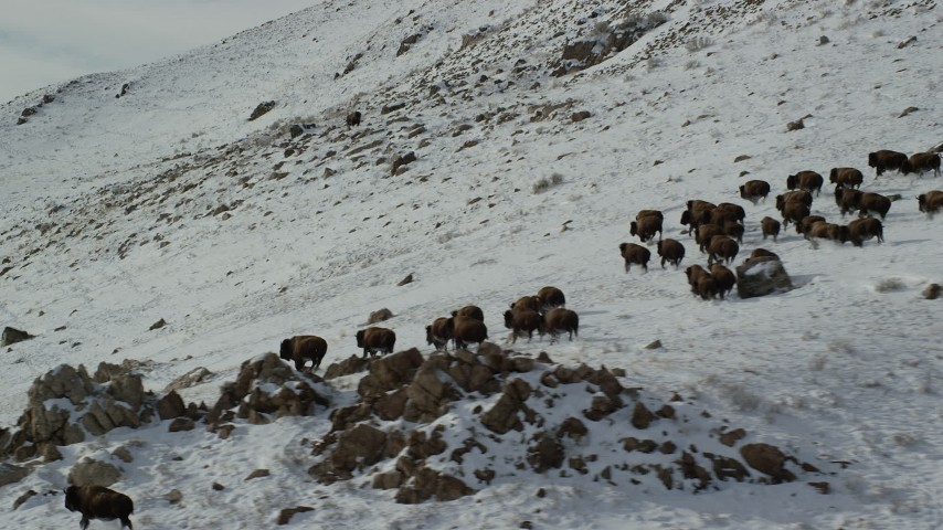 6K stock footage aerial video of a herd of bison running across snow on Antelope Island, Utah Aerial Stock Footage | AX125_059